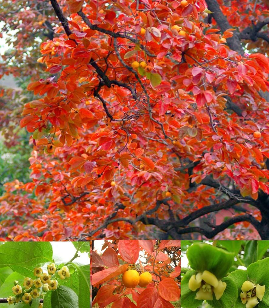 【东北】又见家乡柿子红(散文)